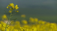 Stock Video Footage of Close up of rape or mustard seed flower in Spring