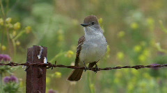 Ash-throated Flycatcher Stock Footage