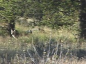 Stock Video Footage of Coyote Trotting Along