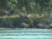 Stock Video Footage of Elk Cross River (1 of 3)