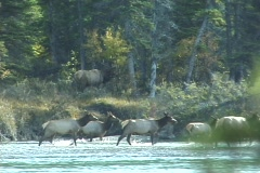Elk Cross River (3 of 3) Stock Footage