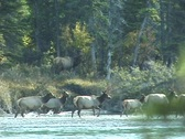 Stock Video Footage of Elk Cross River (3 of 3)