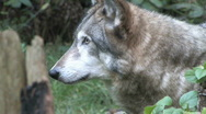 Wolf close up 1 Stock Footage