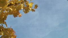 HD1080i Leaf of the maple tree Stock Footage