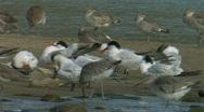 Elegant Tern Stock Footage