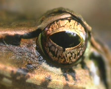 Stripe-throated rain frog Pristimantis lanthanites) from the Peruvian Amazon Stock Footage