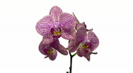 Stock Video Footage of Rotating purple mottled orchid, endless loop 1
