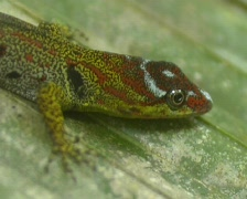 Bridled forest gecko Gonatodes humeralis Stock Footage