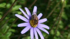 Bees and purple daisies Stock Footage