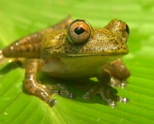 Map treefrog (Hypsiboas geographicus) sitting on a Heliconia leaf Stock Footage