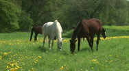 HD1080i Horses on the green meadow Stock Footage