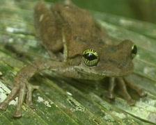 Giant broad-headed treefrog (Osteocephalus taurinus) Stock Footage