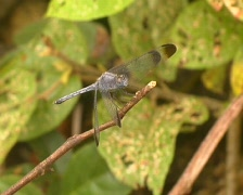 Dragonfly perching in the Peruvian Amazon Stock Footage