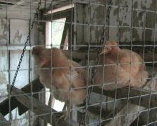 Chicken Coop Stock Footage