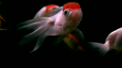 Various Goldfish -  Orandas, Fantails, Black background. Stock Footage