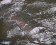 Rainbow trout feeding at a fish farm Stock Footage