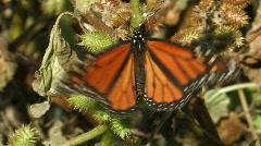 Monarch Butterfly Stock Footage