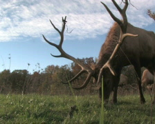 Elk Grazing, Low Angle 2 Stock Footage