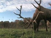 Stock Video Footage of Elk Grazing, Low Angle 2