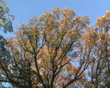 Forest Canopy, Pan Stock Footage