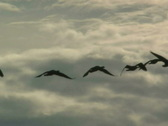 Geese Flying Silhouette Stock Footage