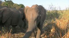 Elephant Jump and Head Shake Stock Footage