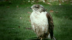 Ferruginous hawk Stock Footage