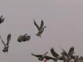 Flock of Geese Stock Footage