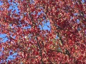 Stock Video Footage of Autumn Leaves - Fall Red - Wide Shot