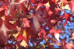 Red Fall Leaves Close 1 - stock footage