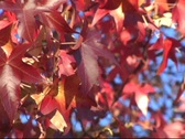 Stock Video Footage of Red Fall Leaves Close 1