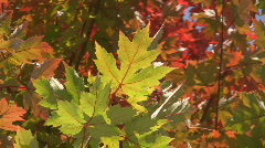 Fall maple leaf. Stock Footage