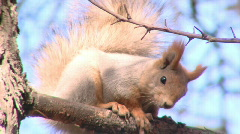 Squirrel on the twig Stock Footage
