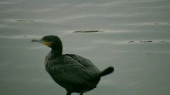 Great Cormorant Poops - stock footage