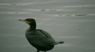 Great Cormorant Poops Stock Footage