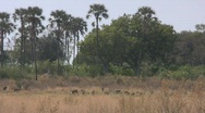 Stock Video Footage of Baboons in Clearing in Botswana