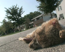 Roadkill Drive-By Stock Footage