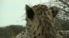 Stock Video Footage of Cheetah Close Up turns at camera