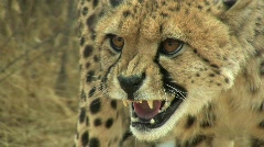 Cheetah Hissing Close Up Stock Footage