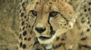 Stock Video Footage of Cheetah Hissing Close Up