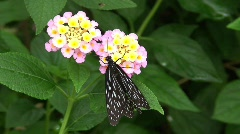 Butterfly - stock footage