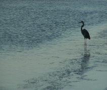 Crane Wading - stock footage
