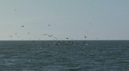 Sea Bird Fish Feast Stock Footage