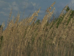Wild Sea Oats Stock Footage
