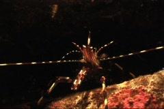 Spiny Rock Shrimp - stock footage