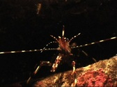Stock Video Footage of Spiny Rock Shrimp