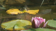 Frog Jumps off Lily Pad and is Replaced By Another Stock Footage