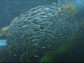 Stock Video Footage of School of Sardines Circling