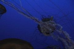 Jellyfish On Blue 1 - stock footage