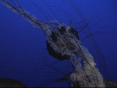 Stock Video Footage of Jellyfish On Blue 1